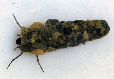 October Caddis Larva in case