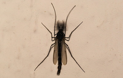 Adult Chironomid