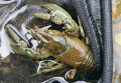 Crayfish colors include mottled brown, olive and reddish brown