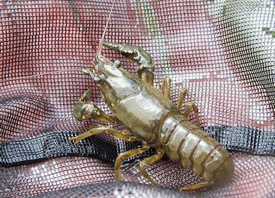 Crayfish in net